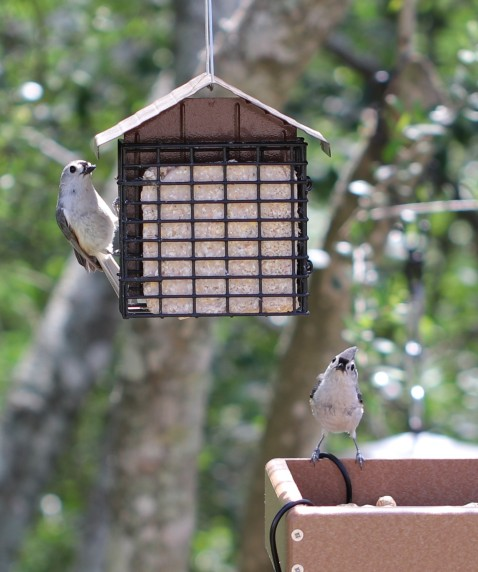 birds - titmouses not titmice