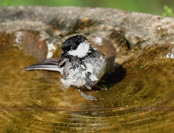 birdbath - chickadee1