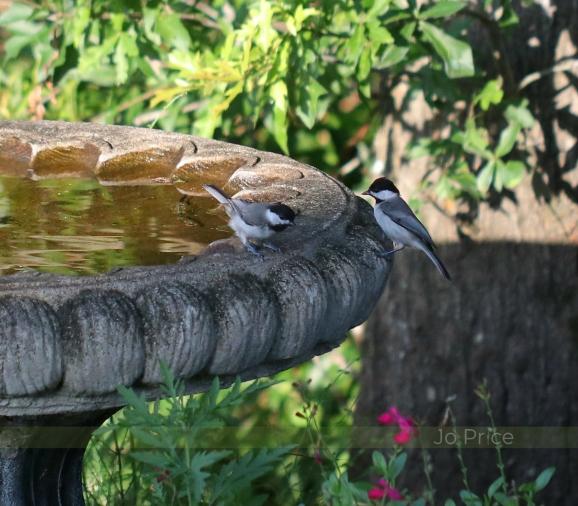 birdbath - chickadee2 - IG