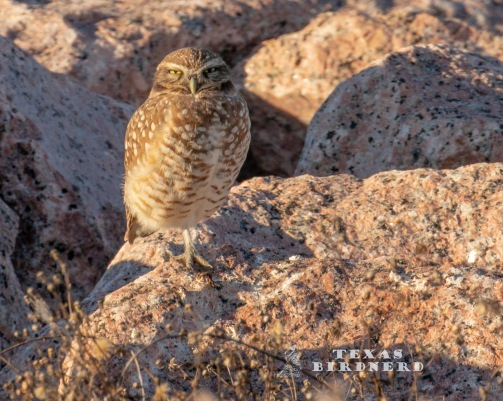 burrowing owl 1 - WM2